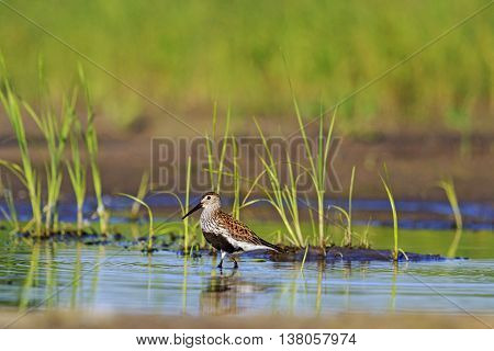 Dunlin among the marsh vegetation autumn migration of birds, waterbirds