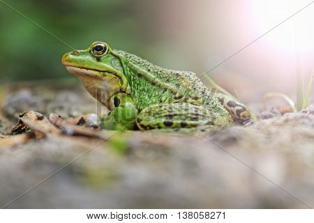 Pool frog portrait, amphibians, reptiles, cold-blooded, lake shore with sunny hotspot