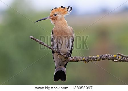 hoopoe sitting on a dry branch, colorful bird, feather, bangs, forelock, a fantastic bird