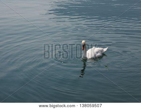 White Swan aka Cygnus bird animal swimming in a lake