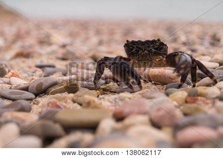 Sally Lightfoot Crab. Black sea, Crimea.  Crimean crab. Food