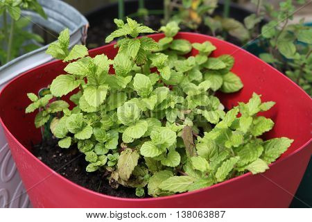 Small spearmint herb plant growing in a pot