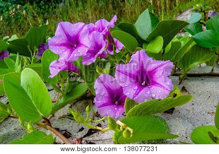 Goat's Foot Creeper purple flowers in sand in tropical beach at Labuan island.
