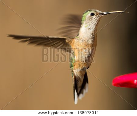 A female broad-tailed hummingbird hovering at a feeder in Mesilla Valley Bosque State Park, Las Cruces, New Mexico.