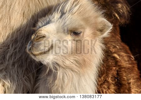 Portrait of little cute fluffy white camel closeup in winter sunny day