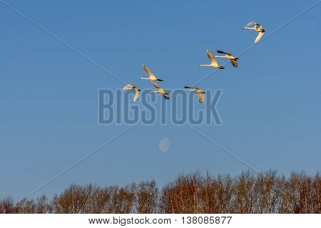 Beautiful view with a flock of swans flying against the blue sky and the moon on a sunny day