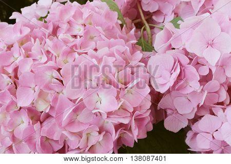 hydrangea flowers - Hydrangea arborescens - shallow depth of field