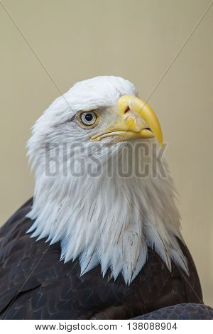 Close Up of Head of Bald Eagle (Haliaeetus leucocephalus).