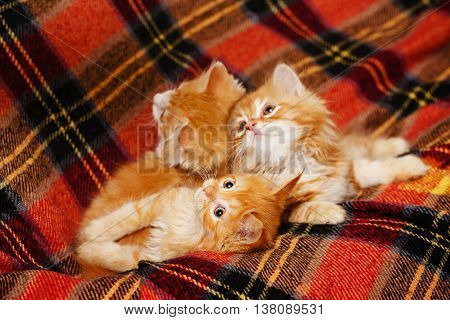 Three cute little red kittens hide in the folds of tartan plaid. Pets. Funny animals.