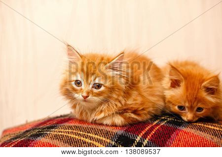 Two nice little ginger kittens sitting on plaid. Pets. Funny animals.