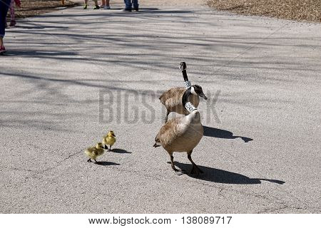 A family of Canada Geese (Branta canadensis), the parents wearing neck collars placed by researchers, goes for a walk.