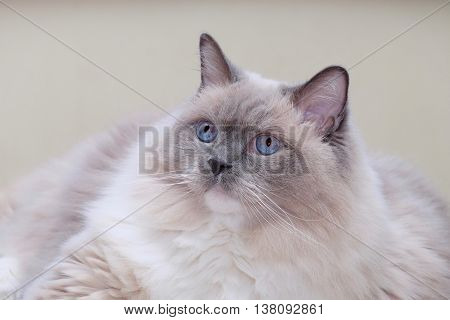Ragdoll cat purebred blue mitted with blue eyes.