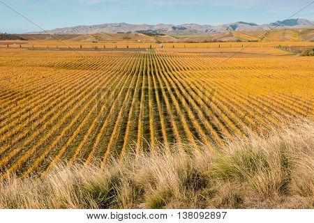 autumn vineyards in Marlborough region, New Zealand