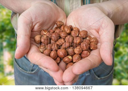 Farmer holds harvested hazelnuts in his hands.