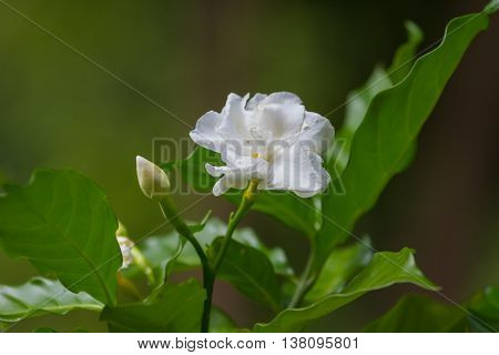 Beautiful Gardenia Jasminoides Flower