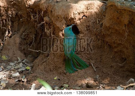 Blue-bearded Bee-eater On Ground In Nature