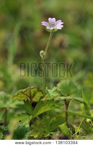 Doves foot Cranesbill - Geranium molle Smaal Pink Flower
