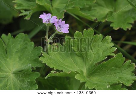 Doves foot Cranesbill - Geranium molle Two Pink Flowers
