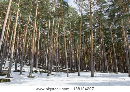 Trees on snow in Soria, Castilla leon, Spain