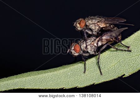Isolated Fly Mating On The Black Background