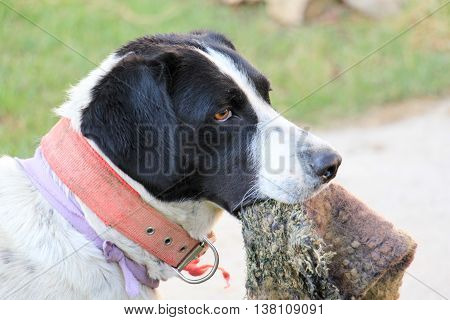 picture of a dog holding woolen jumper in a mouth