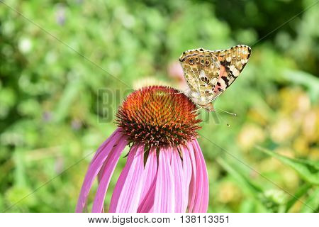 a butterfly on a flower of a purple Echinacea flower