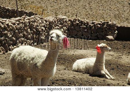 Peruvian alpacas in Andes