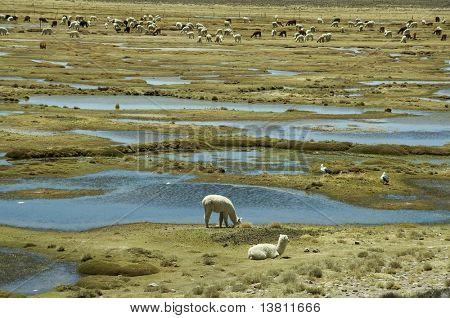 Alpacas del pasto en la pradera de los Andes en Perú