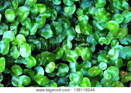 Centella asiatica, green leaves background of water pennywort.