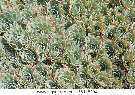 Echeveria elegans is a succulent evergreen perennial with tight rosettes of pale green-blue fleshy leaves bearing 25 cm long slender pink stalks of pink flowers with yellow tips in winter and spring