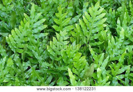 Background Pattern Horizontal of Polypodium Diversifolium Leaves Textured or Green Bush Background.
