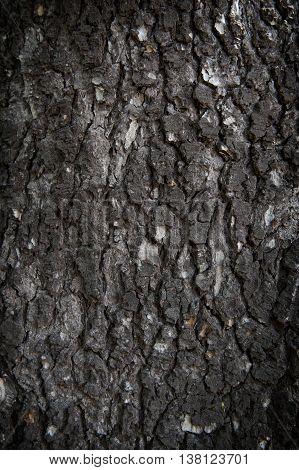 Close-up shot of living bark of Blue Atlas Cedar tree