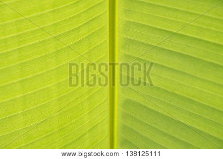 Banana tree and green banana leaves for background nature.