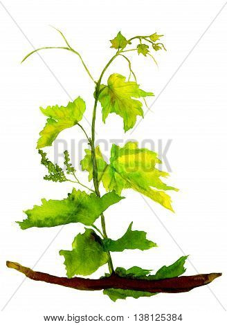Green isolated sapling of grape. Watercolor illustration