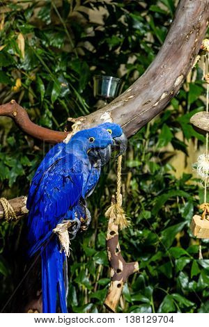 Two Hyacinth Macaws in a tree with green foliage