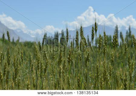 Farmland in Gamba, Skardu, a town in Pakistan's Gilgit-Baltistan province