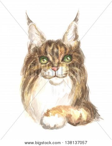 maine coon. Image of a thoroughbred cat. Watercolor painting.