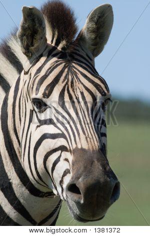 Porträt des Steppenzebras (Equus selloana)
