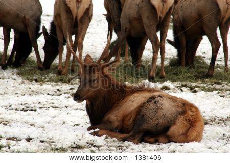 Feeding Elk