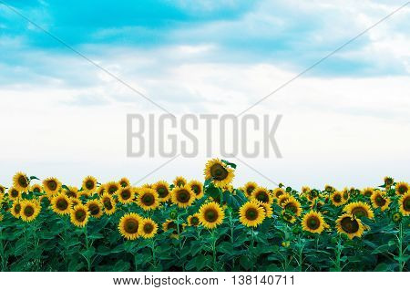 Summer Sunflower Field. Field Of Sunflowers With Blue Sky. A Sunflower Field At Sunset.