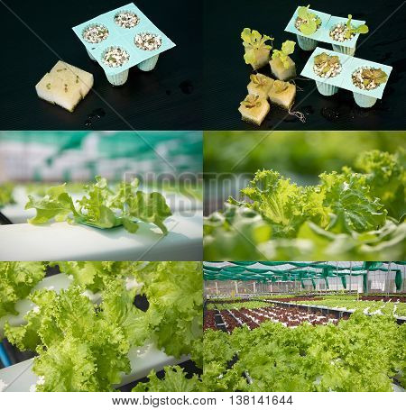 Growing vegetables with hydorponics shown with vegetables in various stages