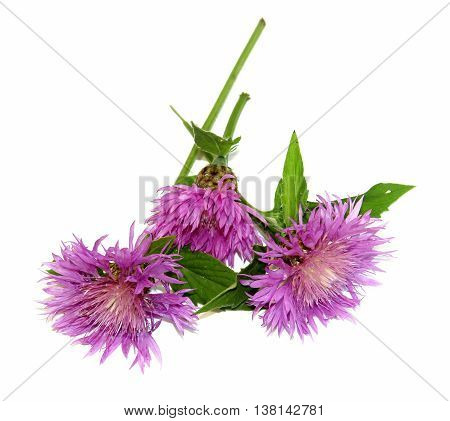 knapweed dry delicate leaves and petals of fresh field violet flowers isolated on white background