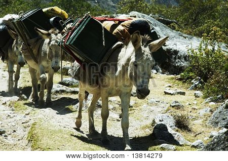 Donkey in the expedition for Alpamayo in Peru