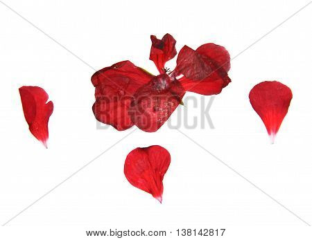 geranium dry delicate flowers leaves and petals of pressed red pelargonium isolated on white background