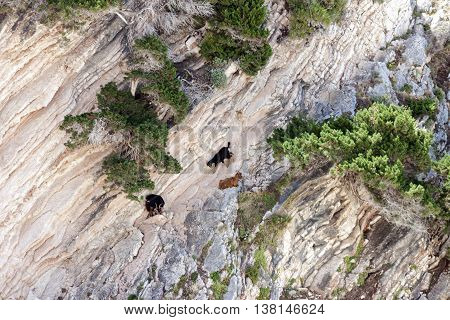 mountain goats climbing on the rocks at Myrtos, Kefalonia, Greece