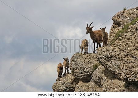 Alpine ibex family photographed on Mt Niederhorn Switzerland. Rare wild animals living in the Alps.