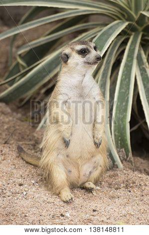 Meerkat sitting on the sand in open zoo