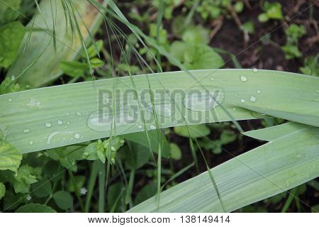 dew drops on green leaves of iris