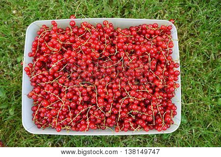 Picked Red Currant Berries In A Box On The Lawn