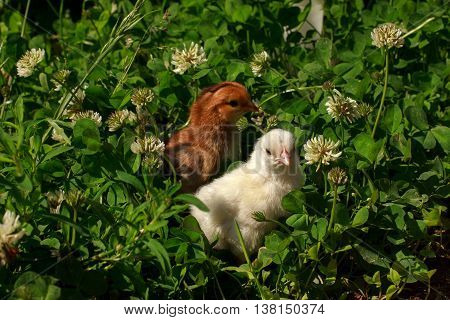 Two little chicks walking in a meadow